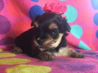Small female maltese/ Yorkie. Should be around 5lbs.