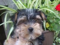 Morkie female puppy dob 4-1-15 She has had a parvo