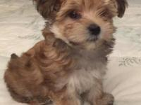 """Penny,"" Born 8/2515. Beautiful little Morkie female,"