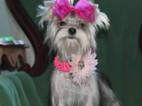 ? Send me a message for price Ko-Ko she is a Morkie and