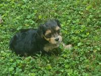 Morkie Female Pup Ready for new home now Non Shedding