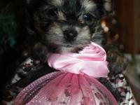 I have 2 women initial generation Morkies. The sire is