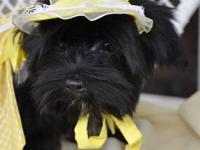 Beautiful black Morkie female born 2-13-2012 Five girls
