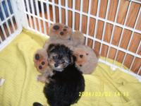Male Morkie for sale 9 1/2 weeks, Mom is a white morkie