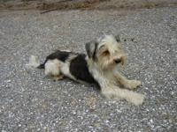 Cowboy is a black and white w/ little brown Morkie. His
