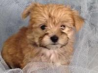 Little Morkie puppy, she weighed 1 lb. 10 oz on 5/28,