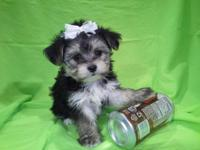 Toy size morkie babies 4 females will be small only 5-6