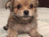 """Bart,"" Born 8/2515. Beautiful little Morkie male,"