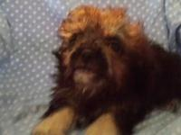 has a beautiful little male Morkie, he is so cute and