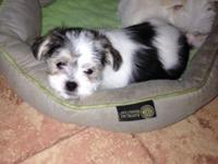 Baxter is a beautiful Parti color Morkie: black and