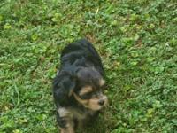 Morkie Male Pup Morkies are Maltese and Yorkie hybrid