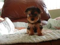 ADORABLE SMALL MALE MORKIE, 8 WEEKS OLD, VERY SWEET,