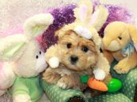 """We have a lil male Morkie """"Cadbury"""" $600 he is"""