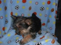 Very small Morkie Male. CKC registered. Ears up, tail