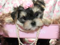 I have a new litter of morkie young puppies born