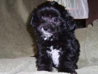 Morkie-poo (Maltese/yorkie/poodle) Household increased