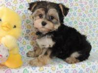 MORKIE POO PUPPIES. I HAVE THREE BOYS AND TWO GIRLS.