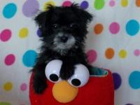 Tiny Morkie-Poo male puppy is waiting for his forever