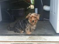 Male Morkie 6mos old. Up todate on shots and worming.