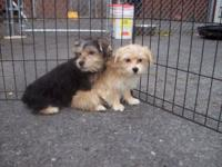 "Adorable male and lady ""Morkies"" (Maltese mixed with"