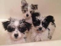 3 Morkie puppies ready for new homes! 2 girls and 1