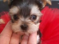 Get your stunning morkie puppies here at The Glamour