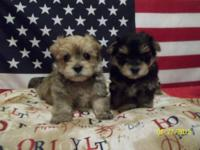 I have 2 very cute Morkie (Yorkie/Maltese) male