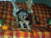 Four Morkie puppies for sale. Mom is a 13 pound yorkie,