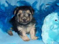 Adorable little Morkie puppies. Both parents are AKC