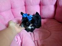 HELPING MY FRIEND SELL HER LITTER OF MORKIE PUPPIES