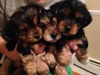 Morkie Puppies !!! 2 males and one female, $500