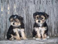 These Morkie puppies will stay small. Their Yorkie papa