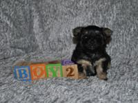 Lovable morkie puppies born on Black Friday, November
