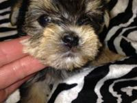 ** Beautiful puppies will be small 4-6 pounds. Each