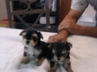 7 wk old morkie pups ... 1male very small....6 females