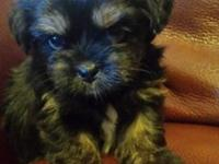 Two female Morkie puppies for sale $450 O.B.O Please no