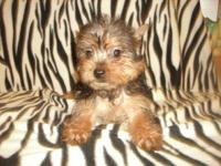 Morkie puppies for sale. 3 females, 1 male. 2 cream,