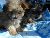 Beautiful fluffy Morkie puppies, look Yorkie. 3 boys