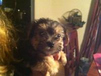 I have 5 morkie puppies available for their new homes