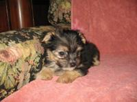 Adorable little Puppies They are 9 weeks old, CKC Reg.