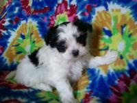 3/4 maltese 1/4 yorkie puppies. VERY rare 1 white