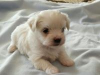 3/4 maltese 1/4 yorkie puppies. Get your deposit in