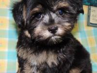 THESE DARLING GIRLS ARE MORKIE PUPPIES. ADORABLY CUTE,