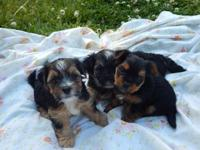Cotton Creek Puppies Morkies, 8 weeks old, CKC