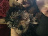 Morkie puppies,home raised,vet checked,very small with