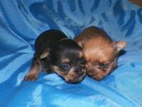 3 MORKIE PUPPIES BORN JUNE 11TH. 1 MALE AND 2 FEMALES.