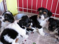 Still have 3 beautiful males Morkie puppies ready for a
