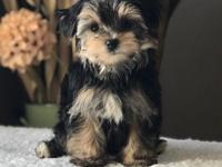 Happy,healthy and adorable Morkie puppies. there is no