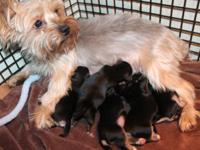I have a new litter of morkie puppies born 11/25/14 all