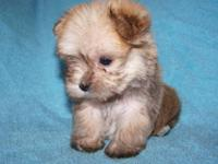Puppies are a Maltese/Yorkshire Terrier designer breed.